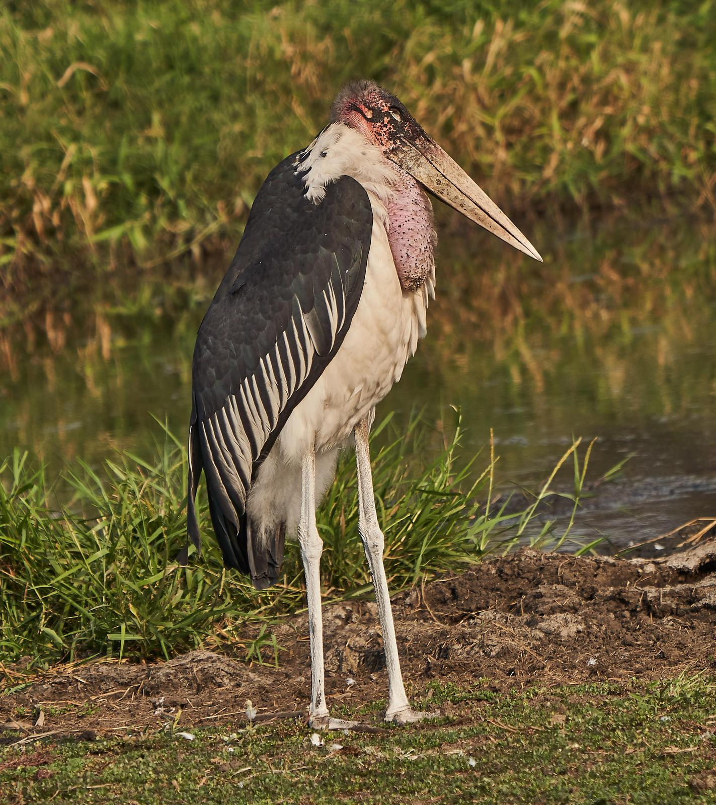 Marabou Stork Photo by Steven Cheong