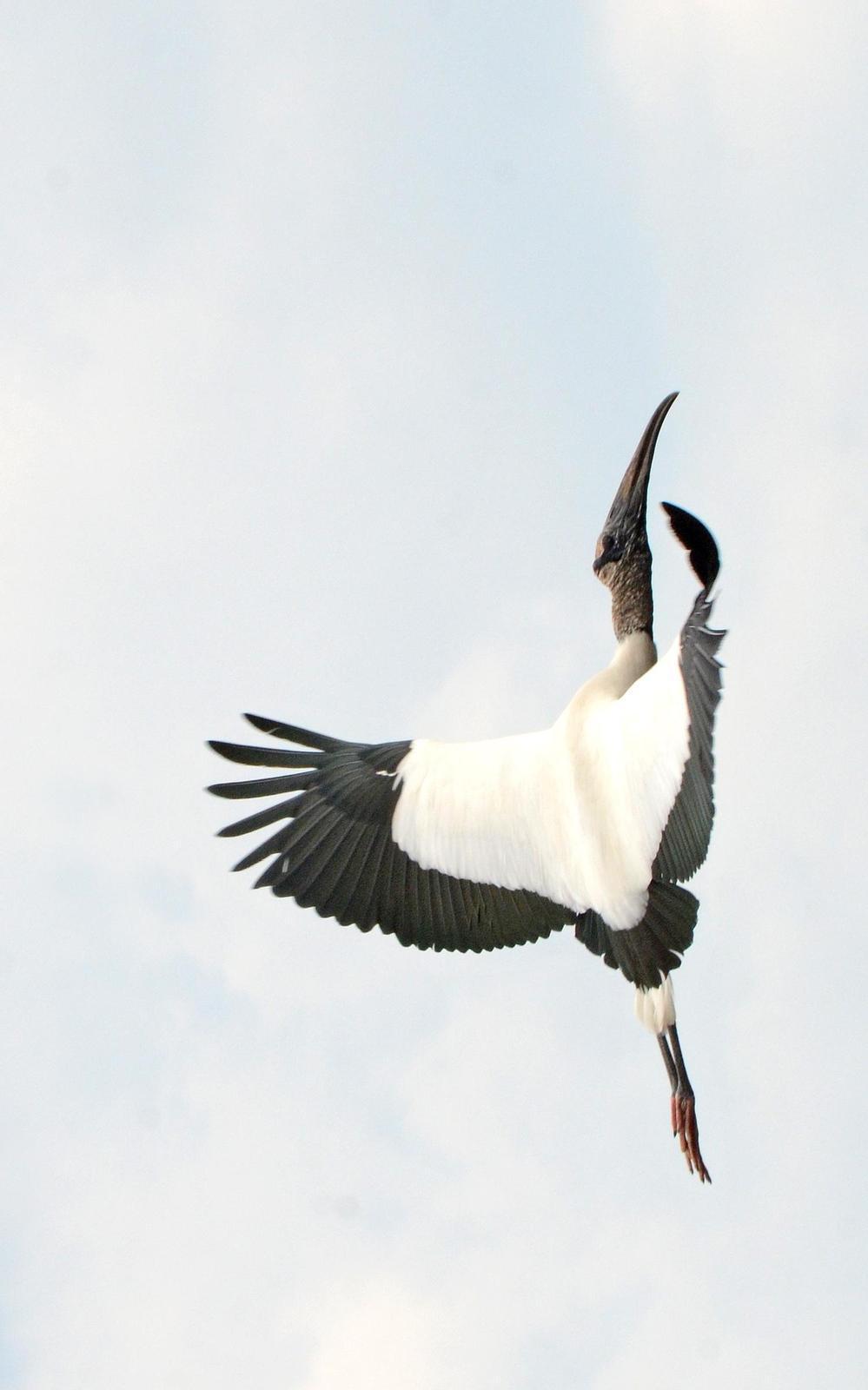 Wood Stork Photo by Steven Mlodinow