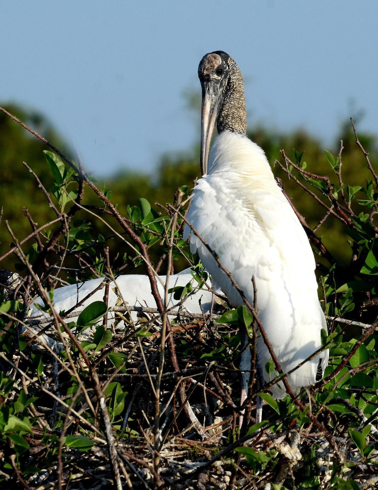 Wood Stork Photo by Steven Mlodinow