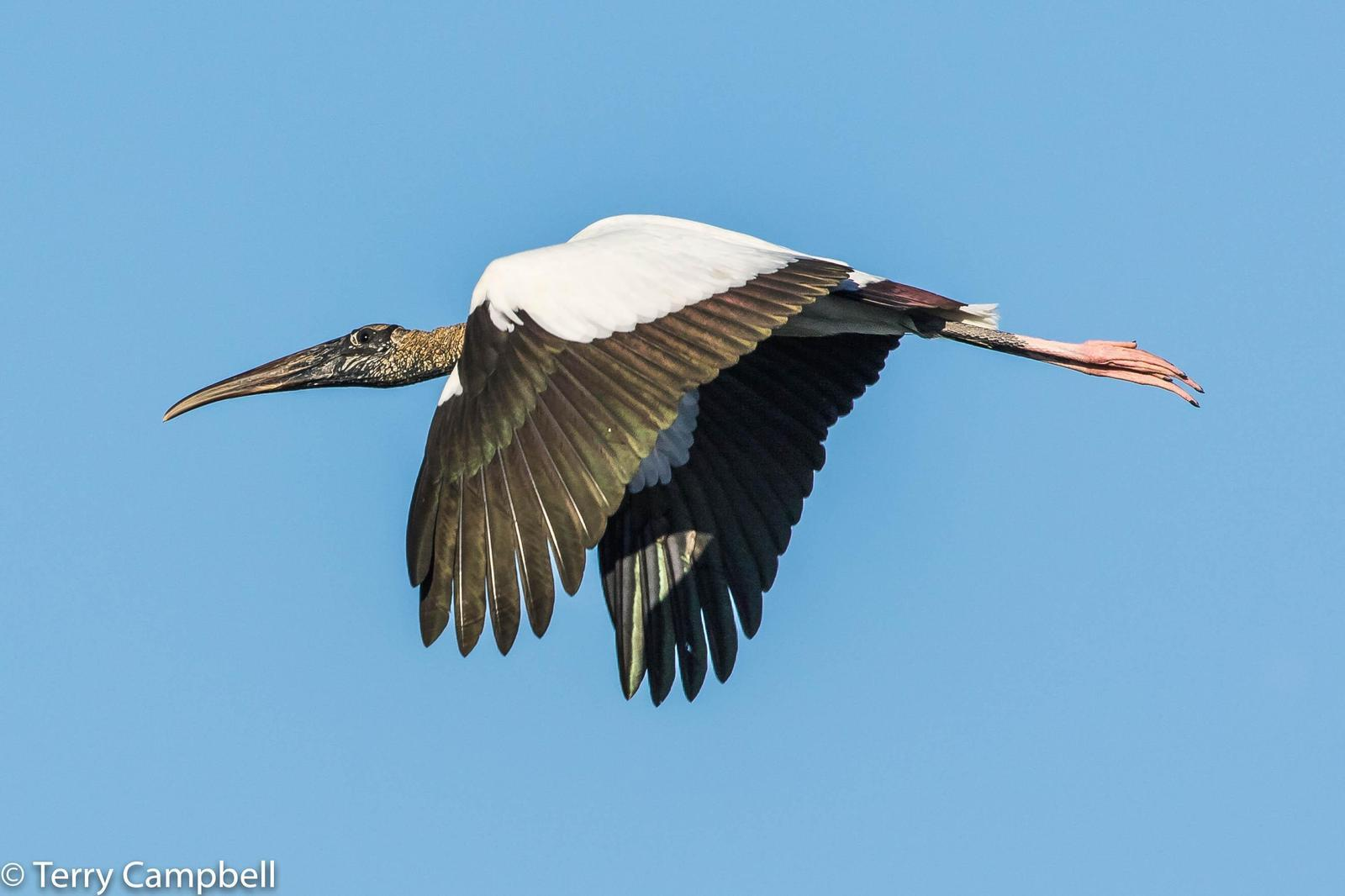 Wood Stork Photo by Terry Campbell