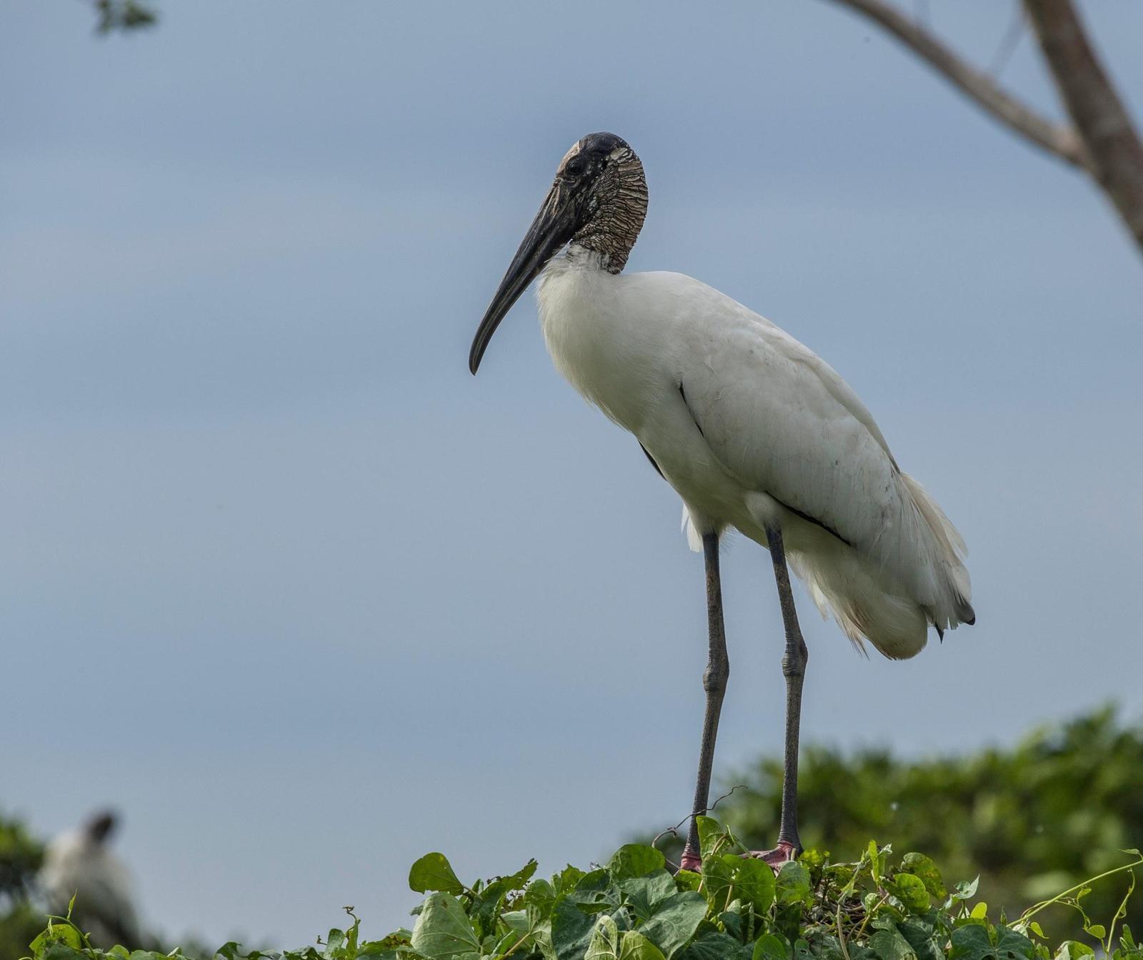 Wood Stork Photo by Paul Demers