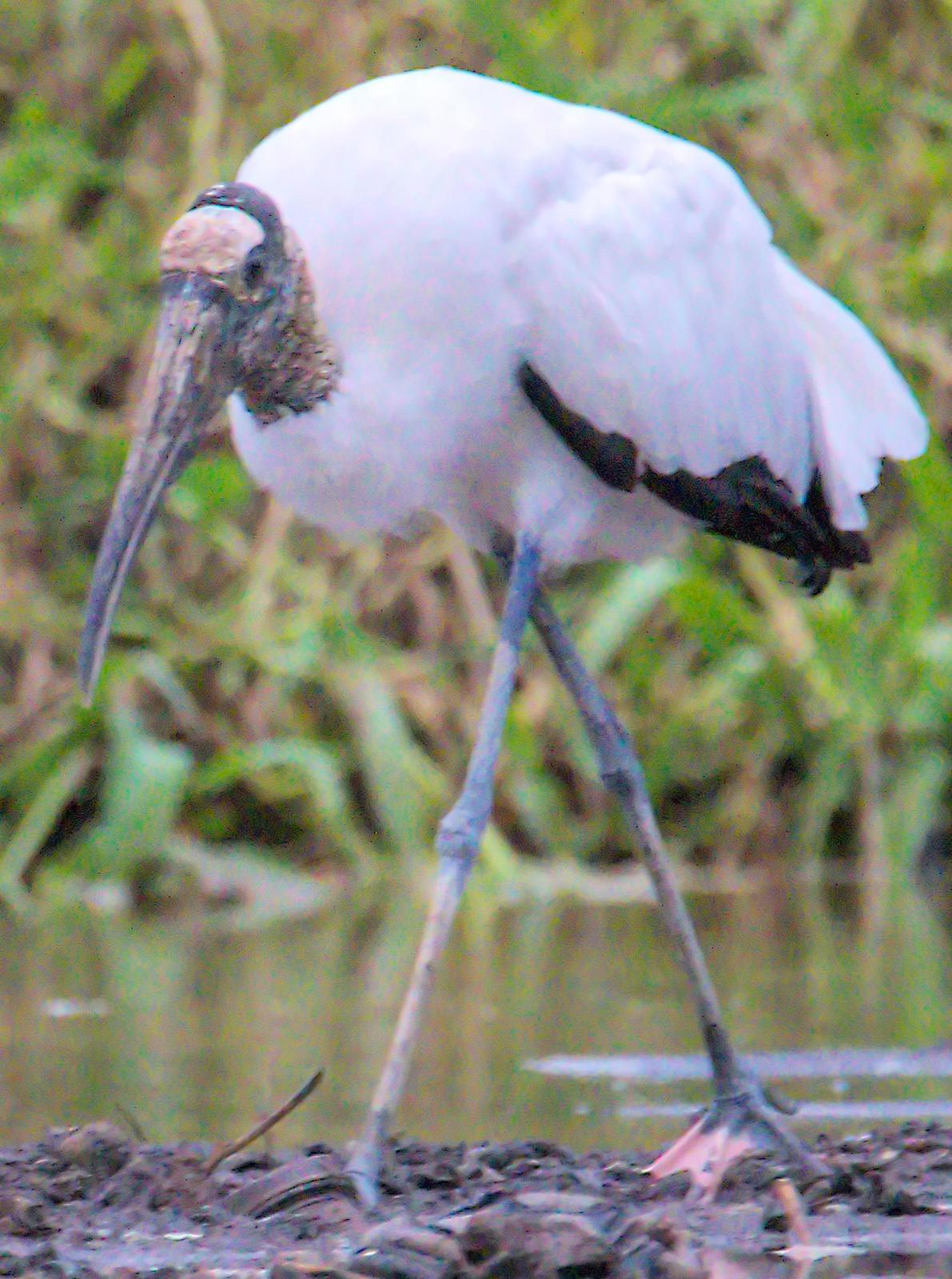 Wood Stork Photo by Dan Tallman