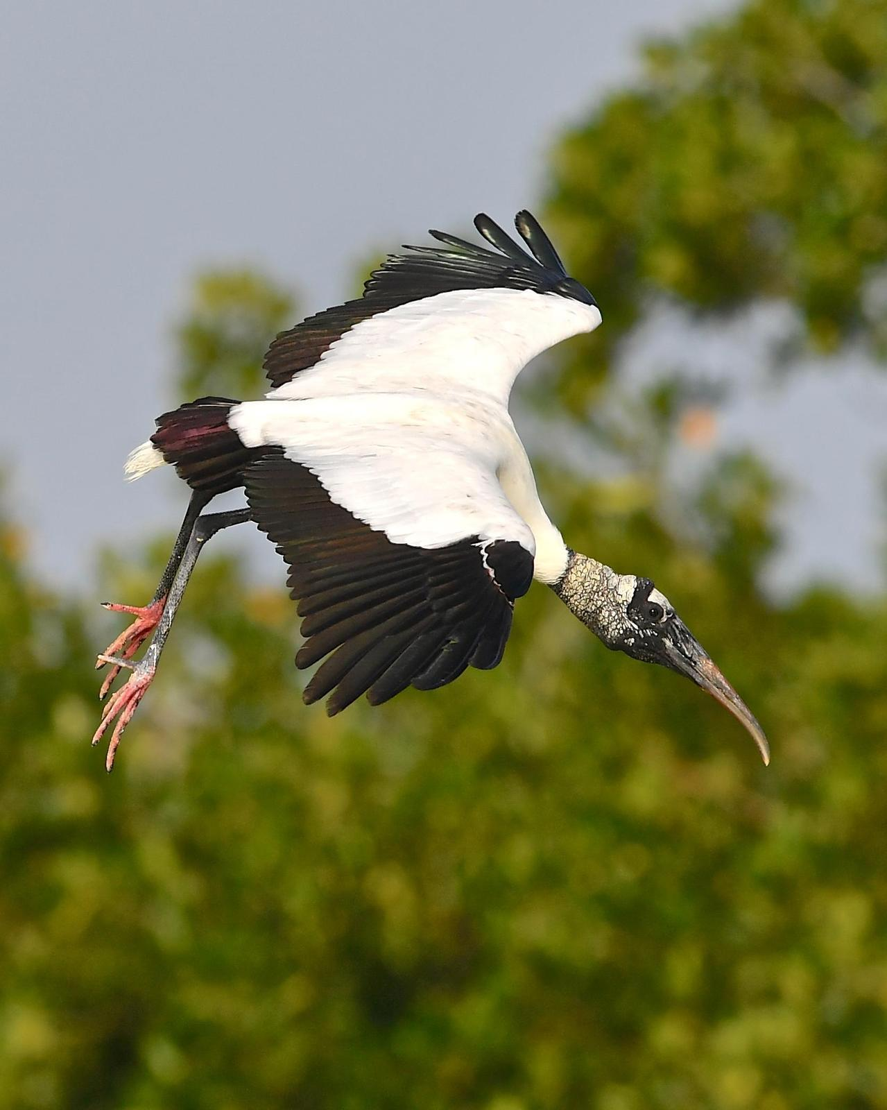 Wood Stork Photo by Gerald Friesen