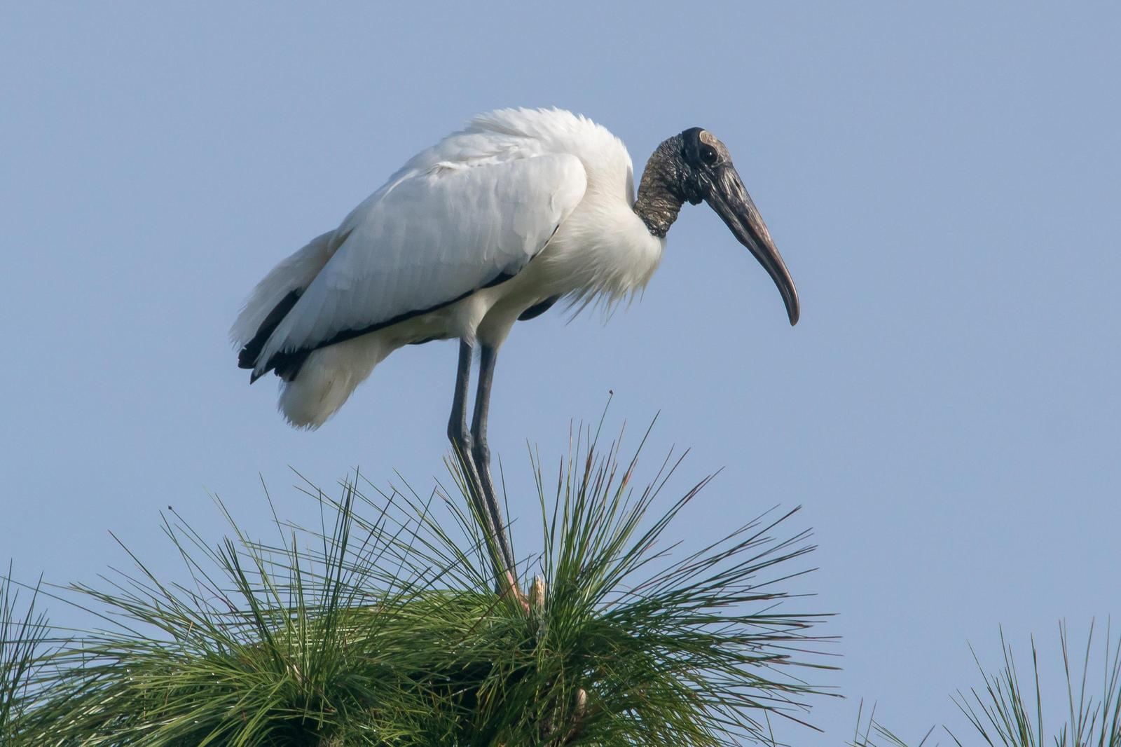 Wood Stork Photo by Gerald Hoekstra
