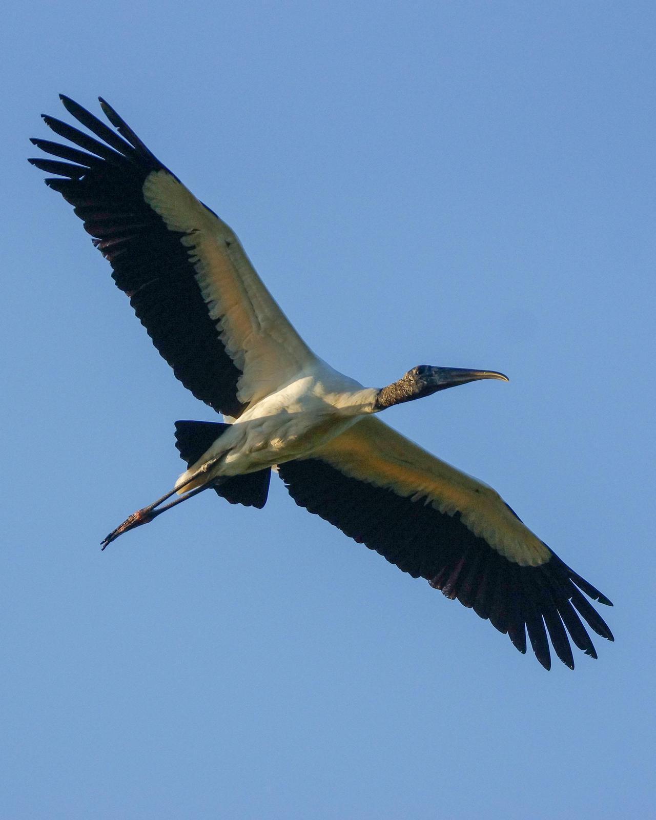 Wood Stork Photo by Steve Percival