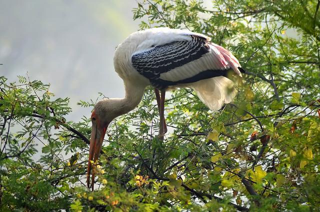 Painted Stork Photo by Mihir Joshi