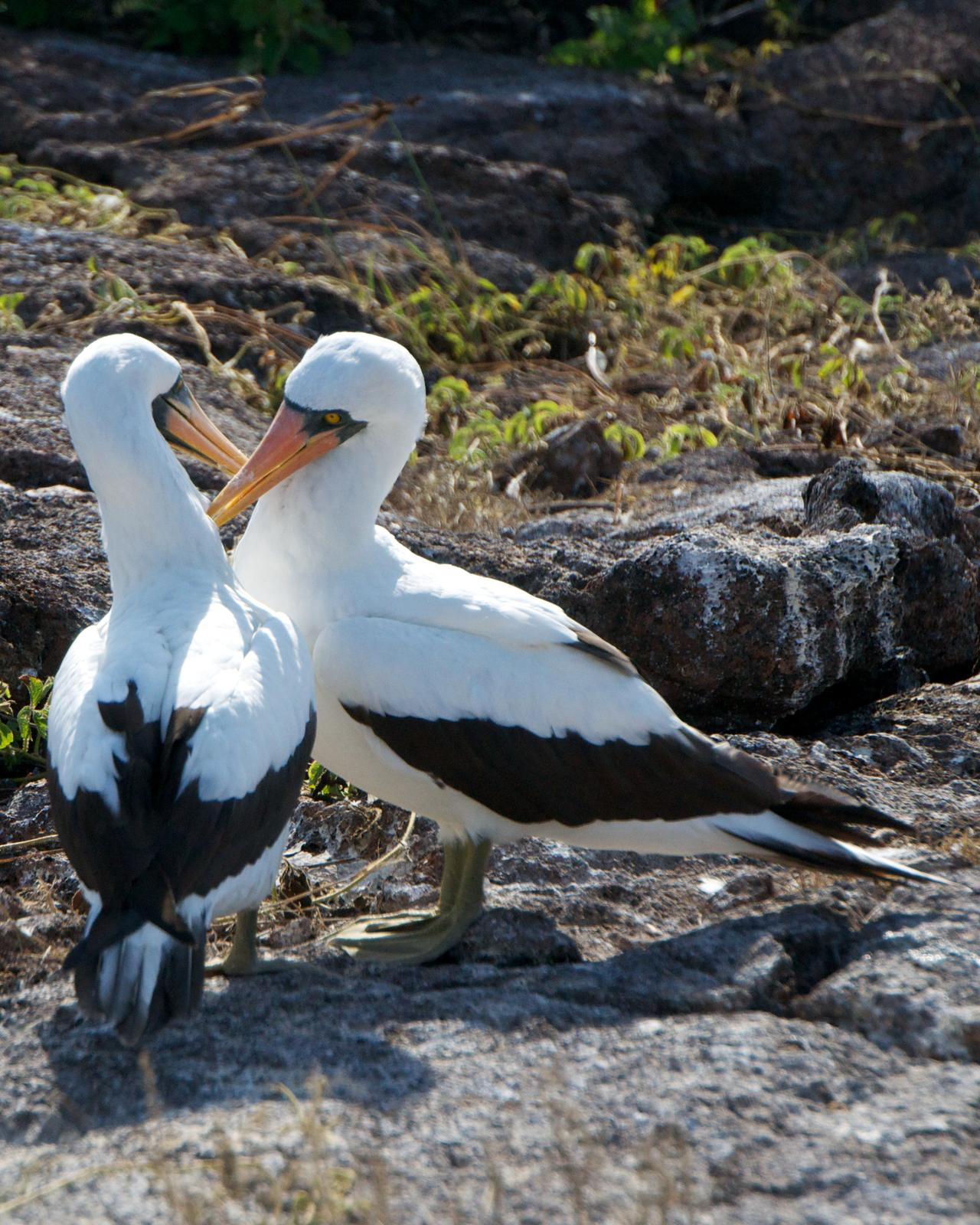 Nazca Booby Photo by Robin Barker