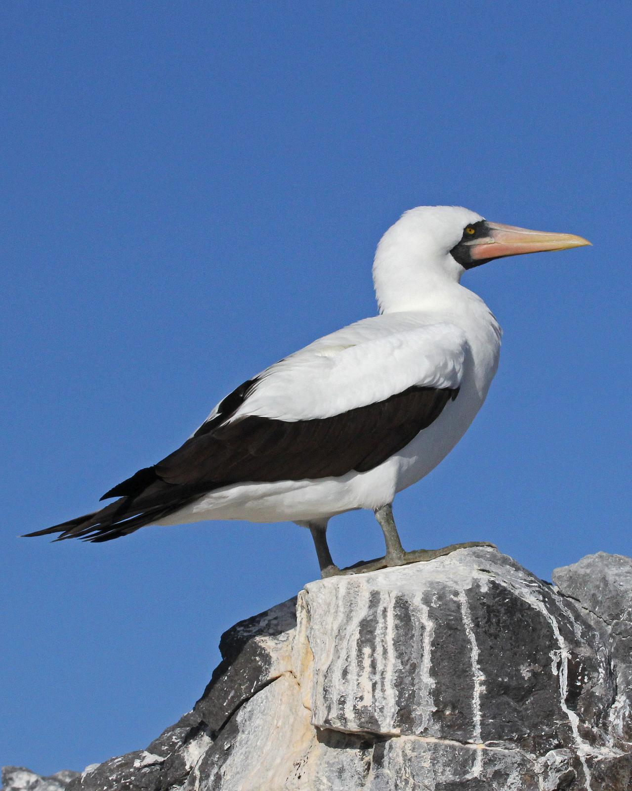 Nazca Booby Photo by Robert Polkinghorn