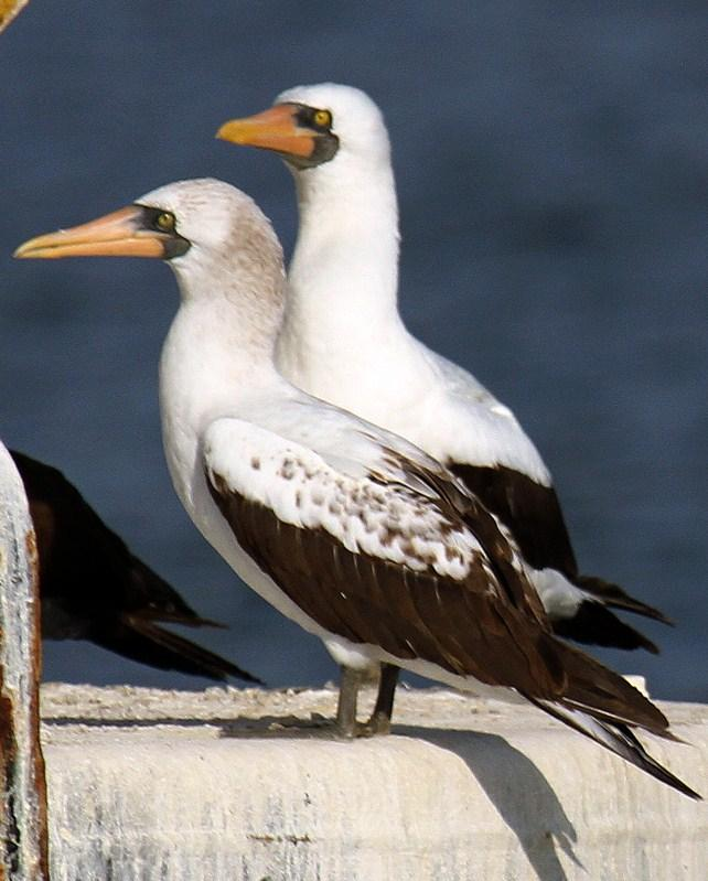 Nazca Booby Photo by Cathy Sheeter