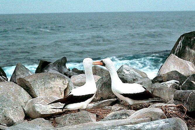 Nazca Booby Photo by Dan Tallman