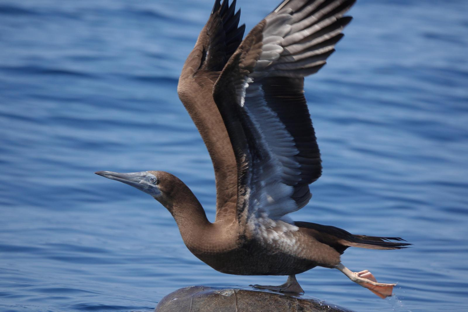 Brown Booby Photo by Bonnie Clarfield-Bylin