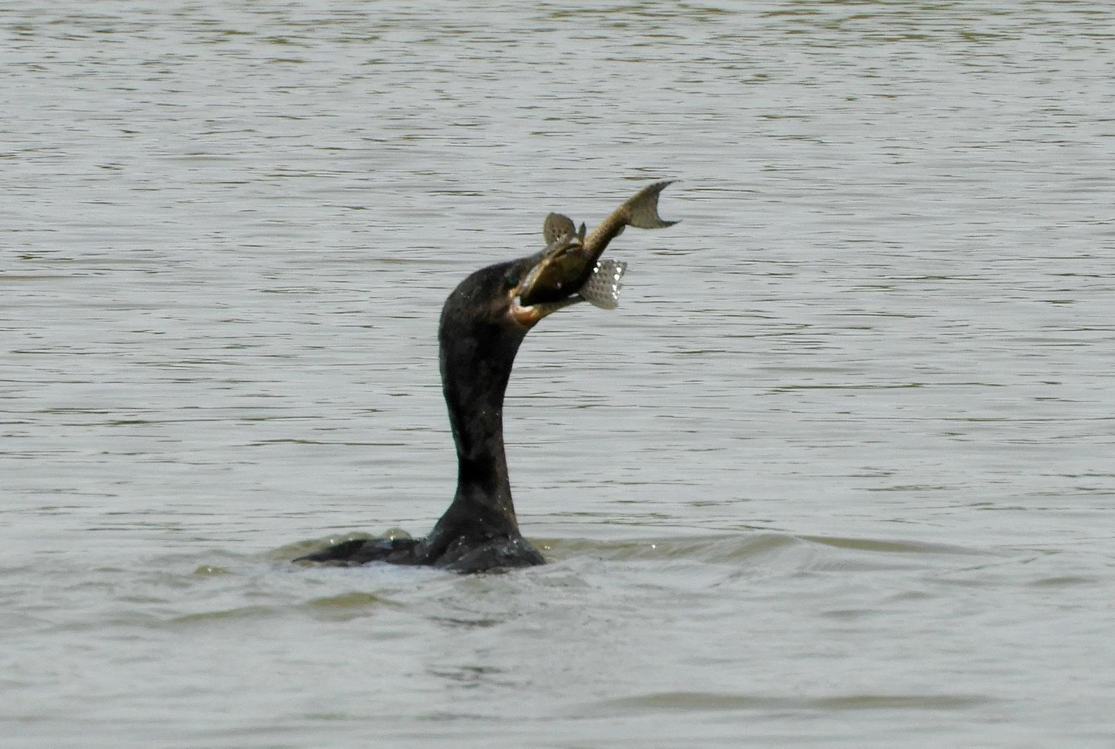 Neotropic Cormorant Photo by Thomas Michel