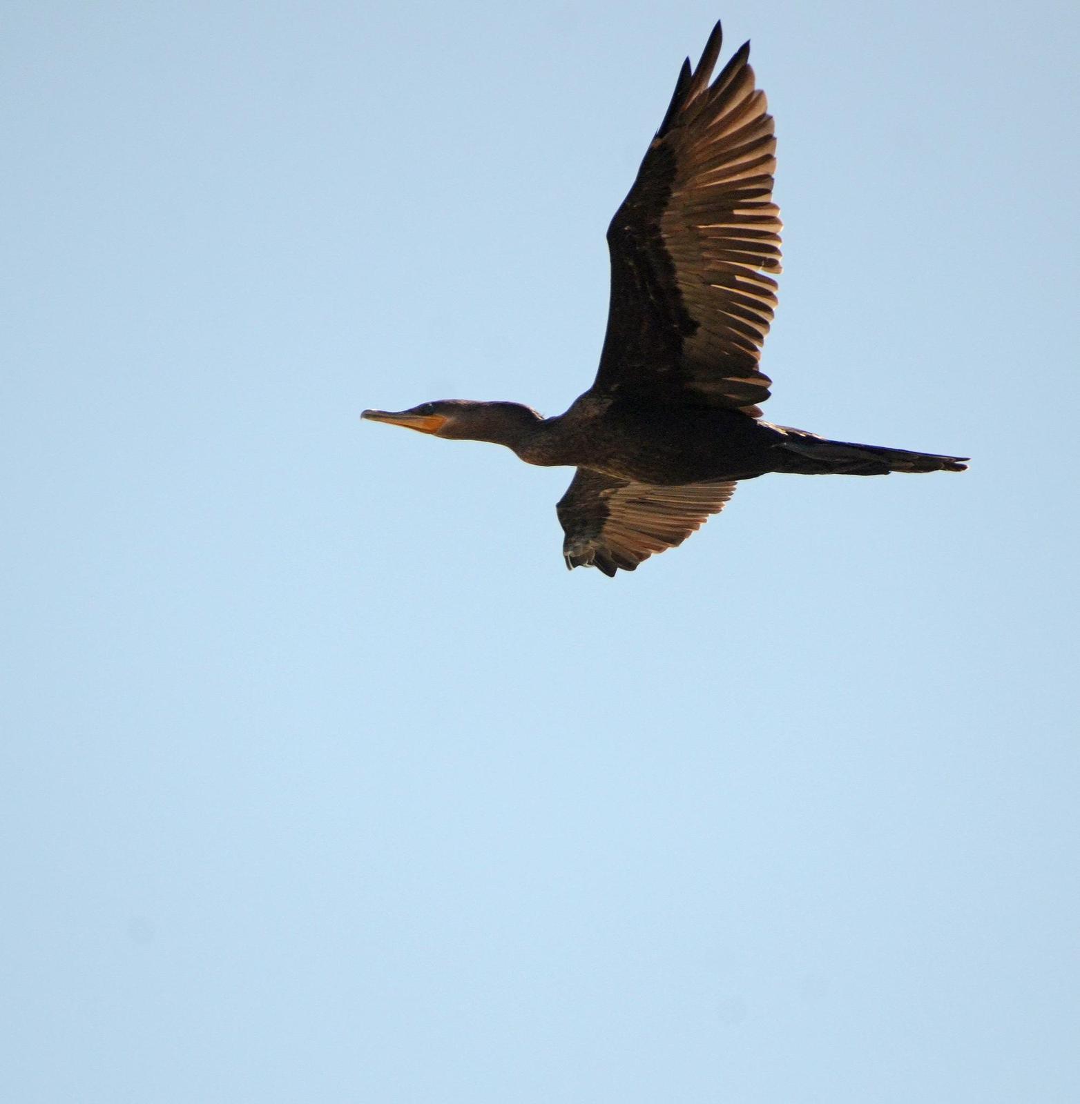 Neotropic Cormorant Photo by Steven Mlodinow