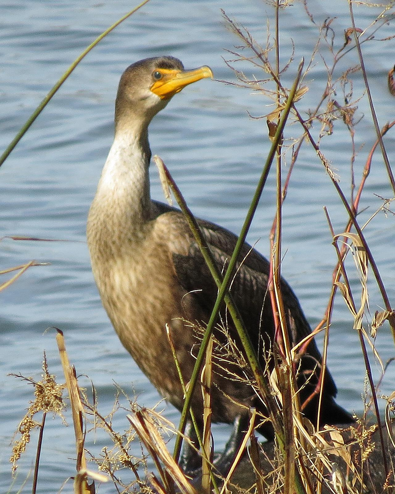Double-crested Cormorant Photo by Kelly Preheim