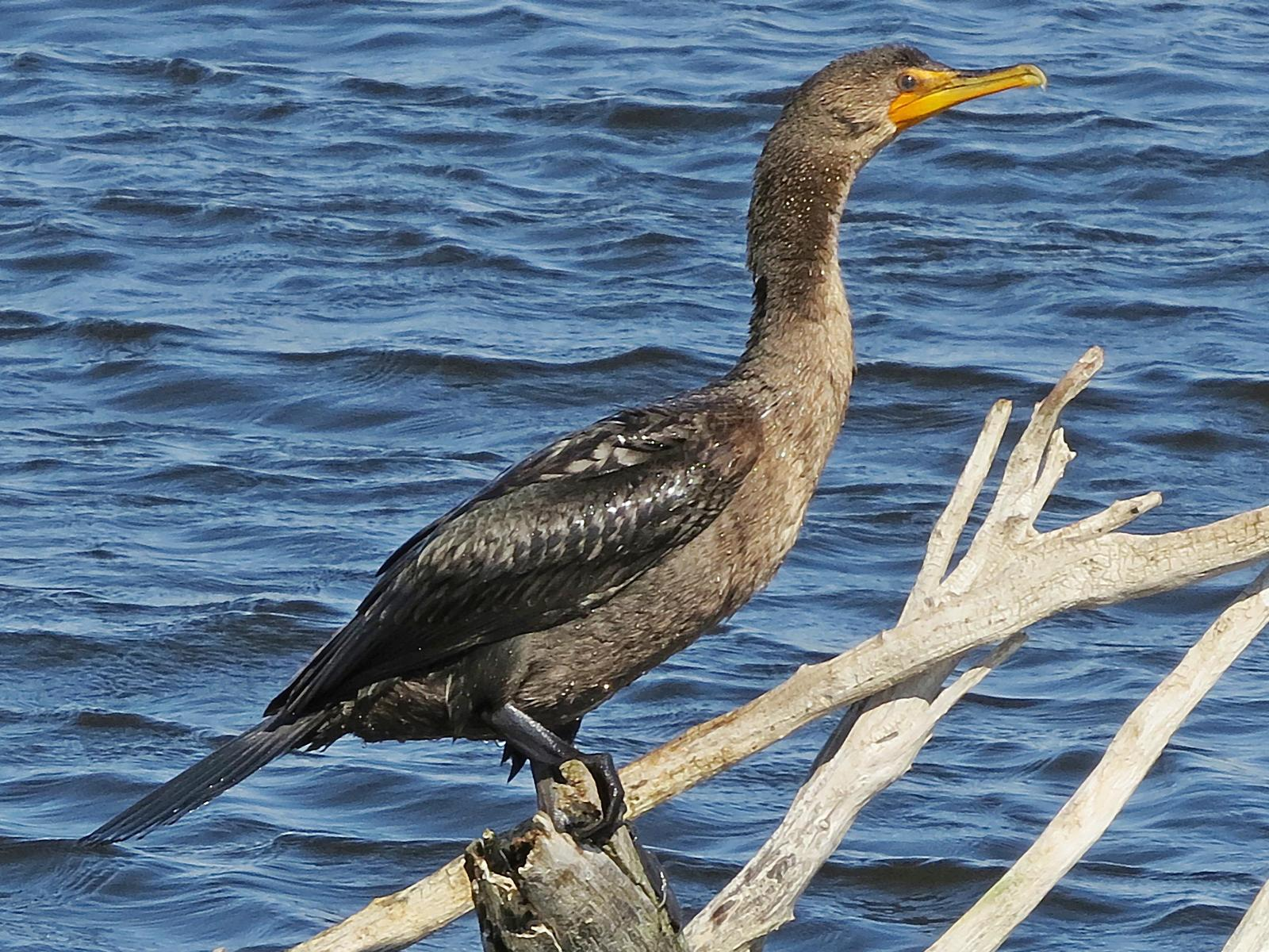 Double-crested Cormorant Photo by Bob Neugebauer