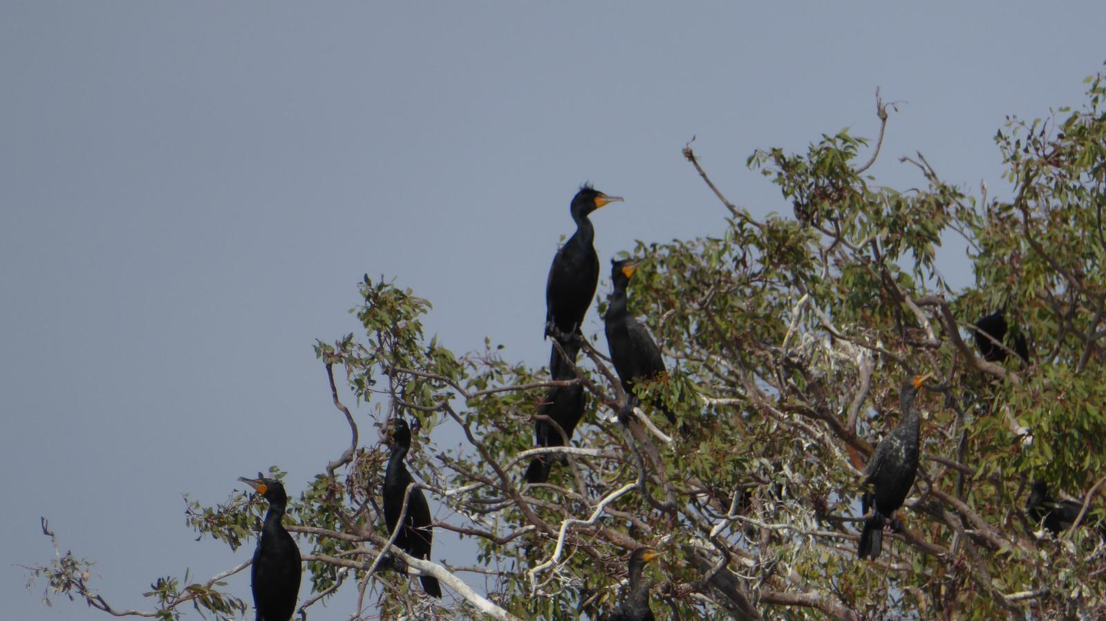 Double-crested Cormorant Photo by Daliel Leite