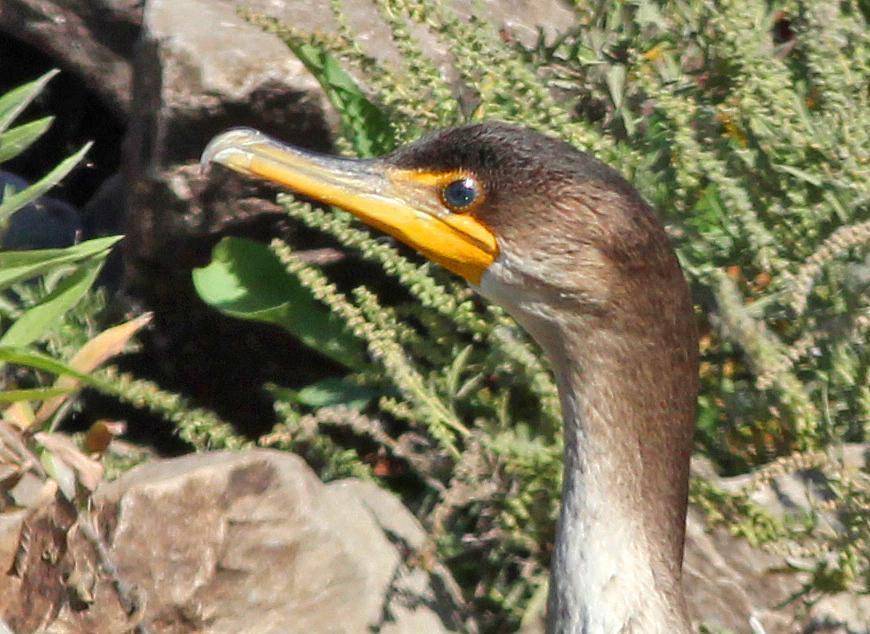Double-crested Cormorant Photo by Tom Gannon