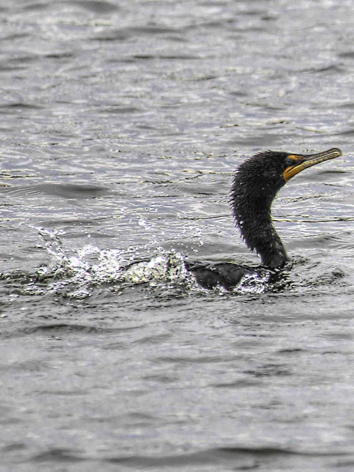 Double-crested Cormorant Photo by Dan Tallman