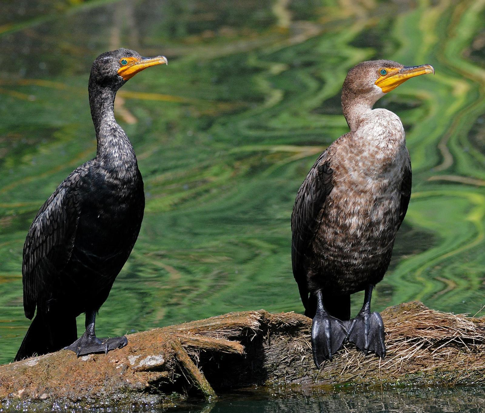 Double-crested Cormorant Photo by Steven Mlodinow