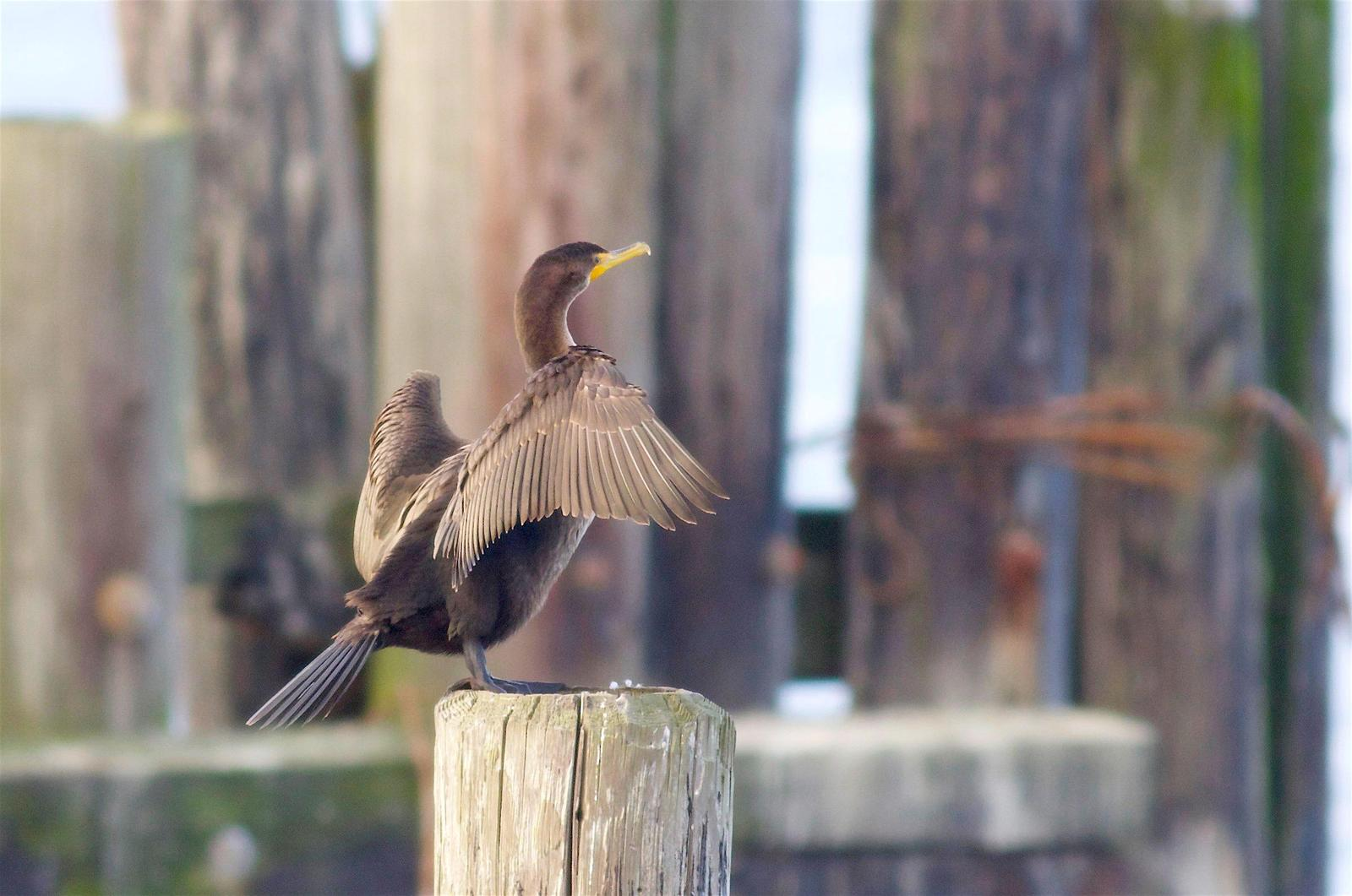 Double-crested Cormorant Photo by Kathryn Keith