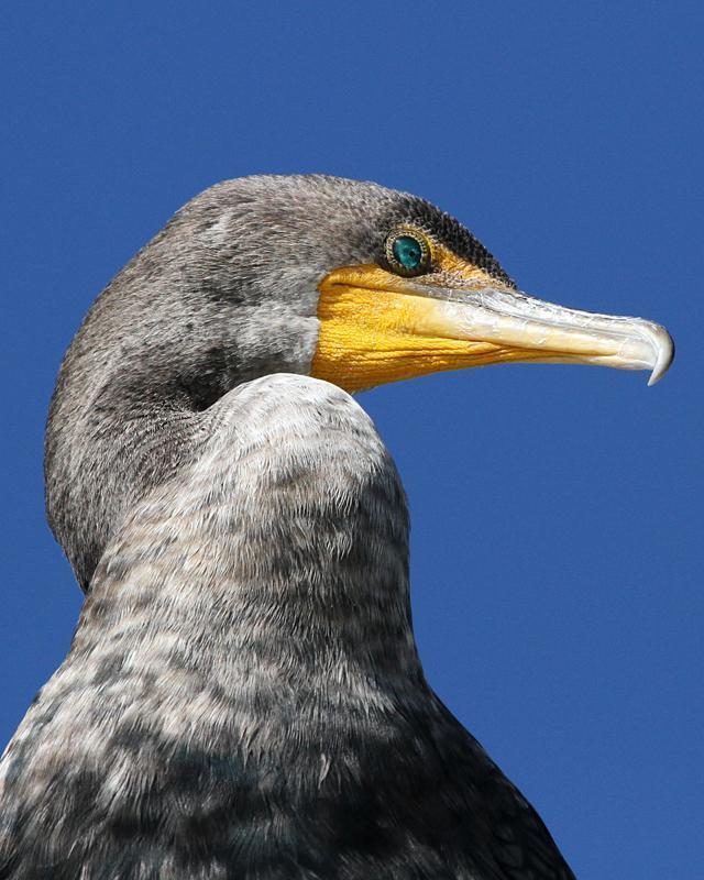 Double-crested Cormorant Photo by Ashley Bradford