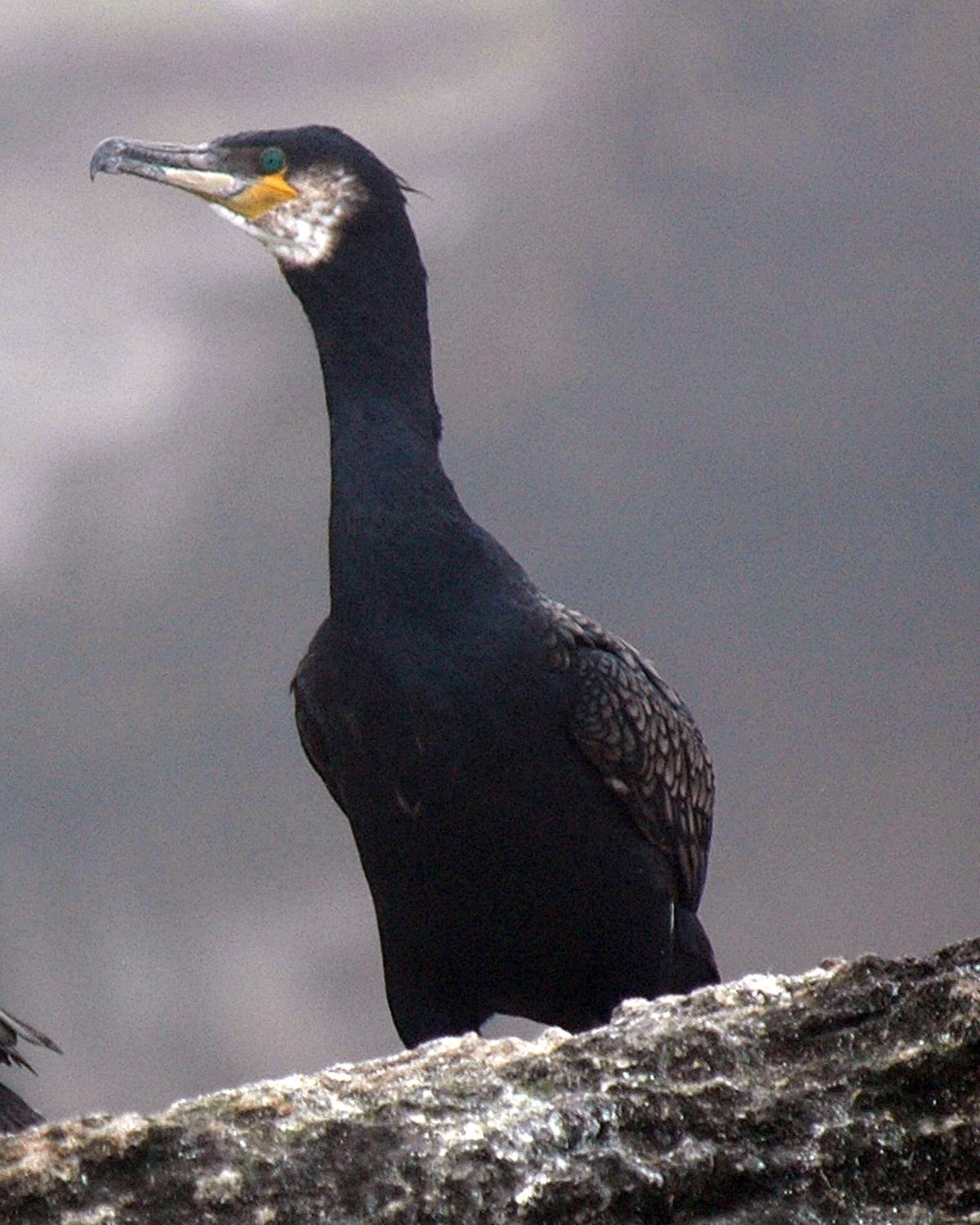 Great Cormorant Photo by Magill Weber