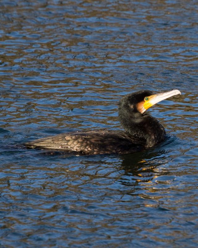 Great Cormorant Photo by Natalie Raeber