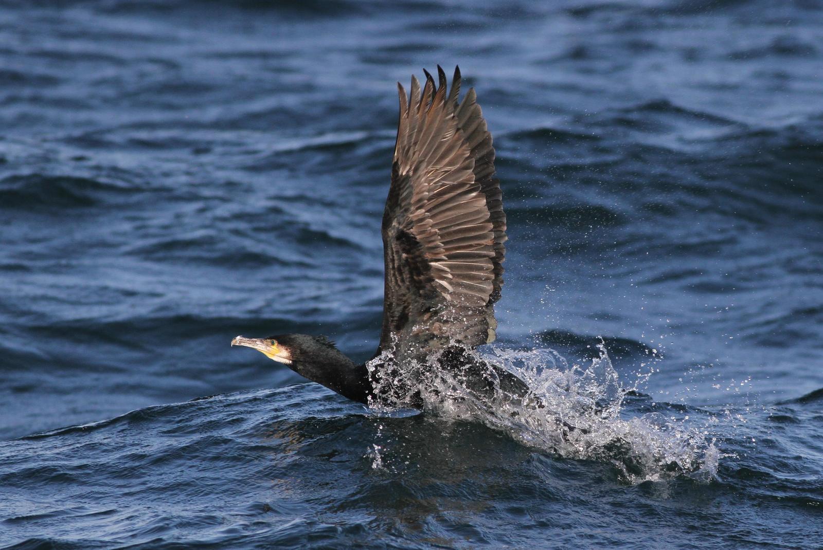 Great Cormorant Photo by Alex Lamoreaux