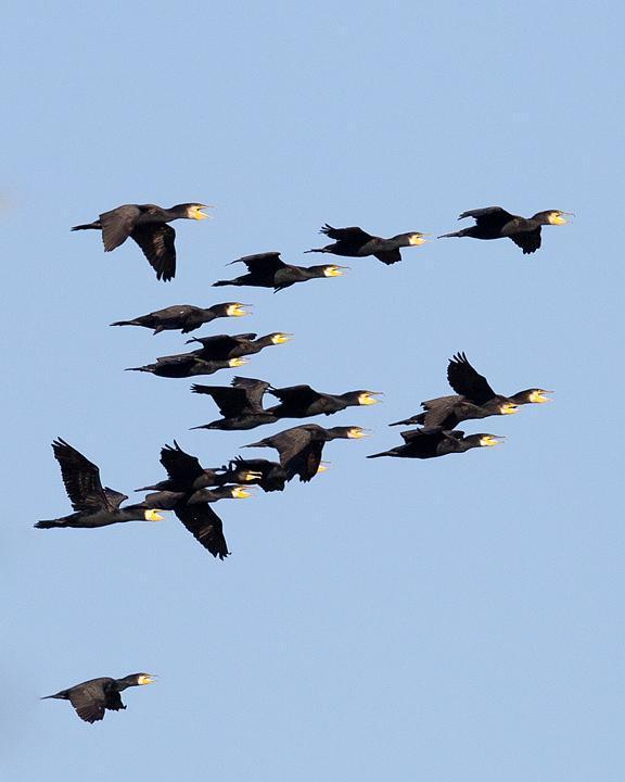 Great Cormorant Photo by Mat Gilfedder