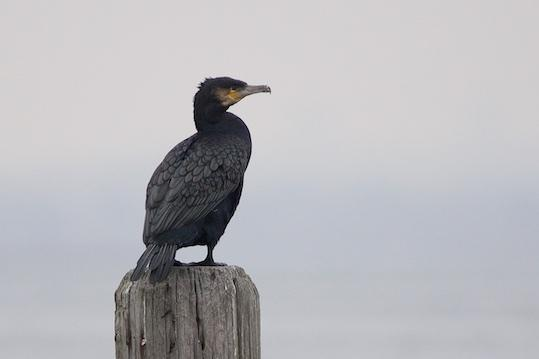 Great Cormorant Photo by Gerald Hoekstra