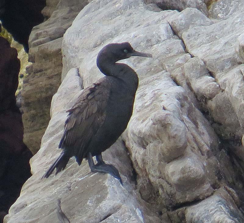 Bank Cormorant Photo by Peter Boesman