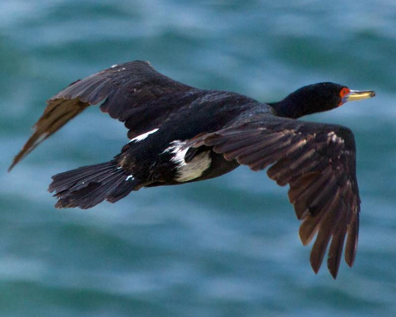 Red-faced Cormorant Photo by Ashley Bradford