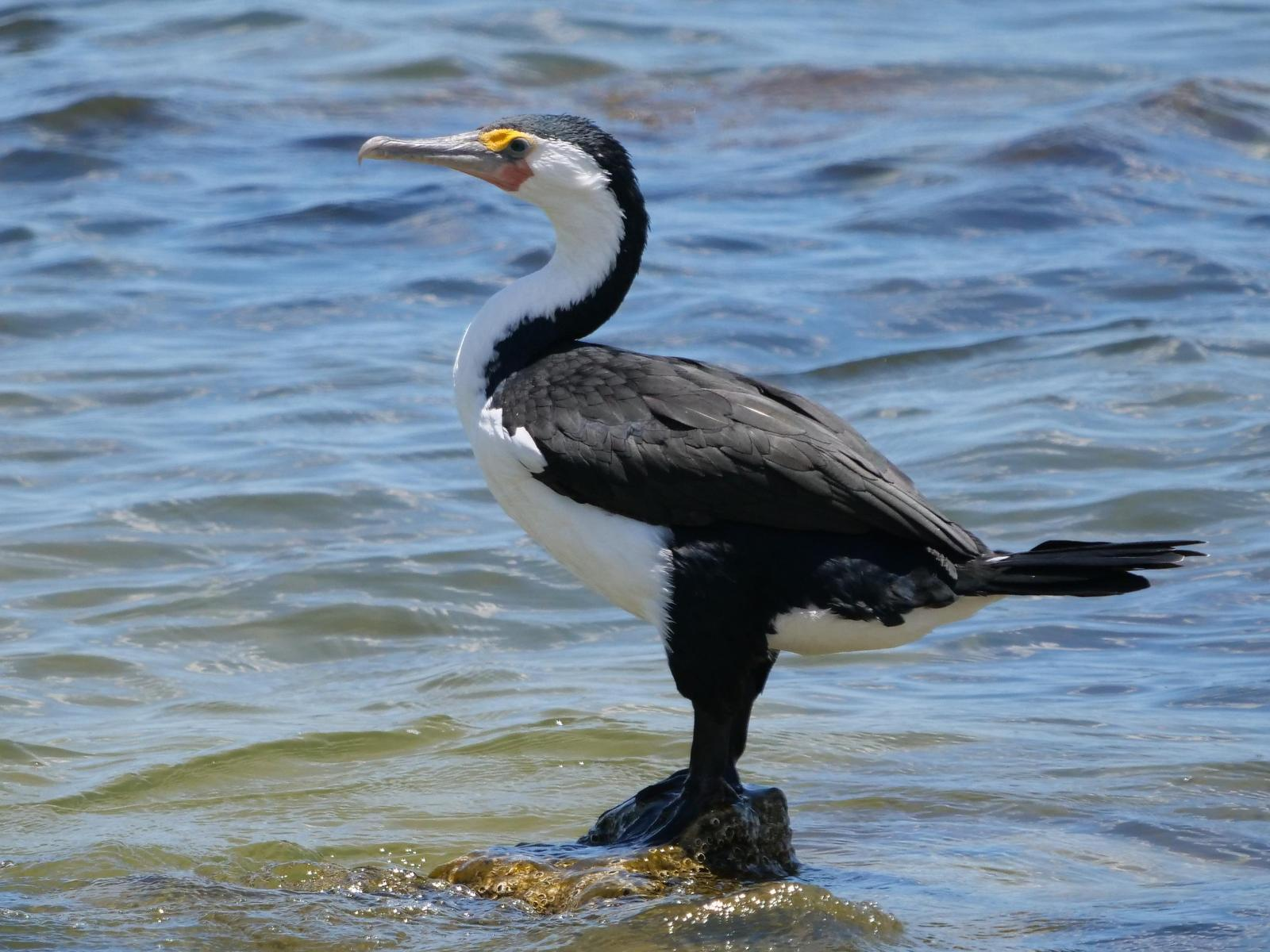 Pied Cormorant Photo by Peter Lowe
