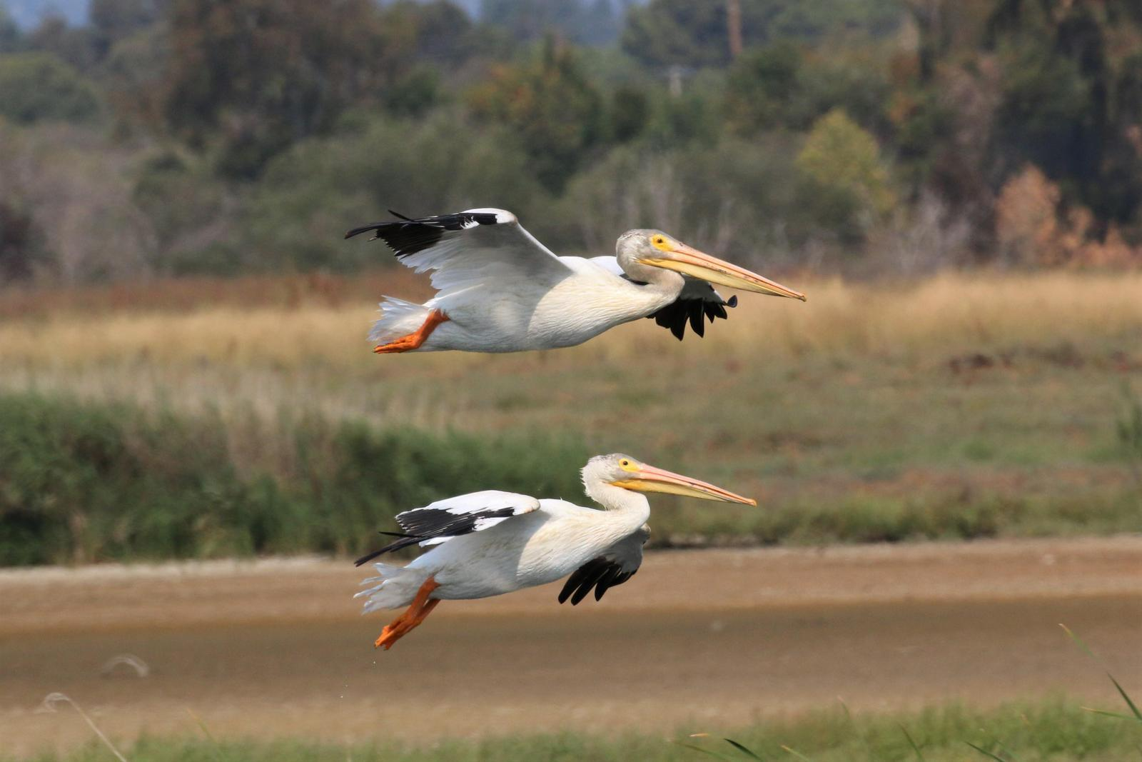 American White Pelican Photo by Richard Jeffers