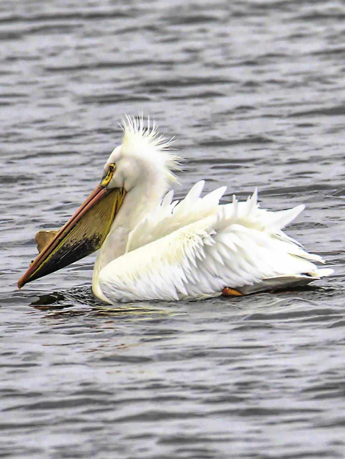 American White Pelican Photo by Dan Tallman