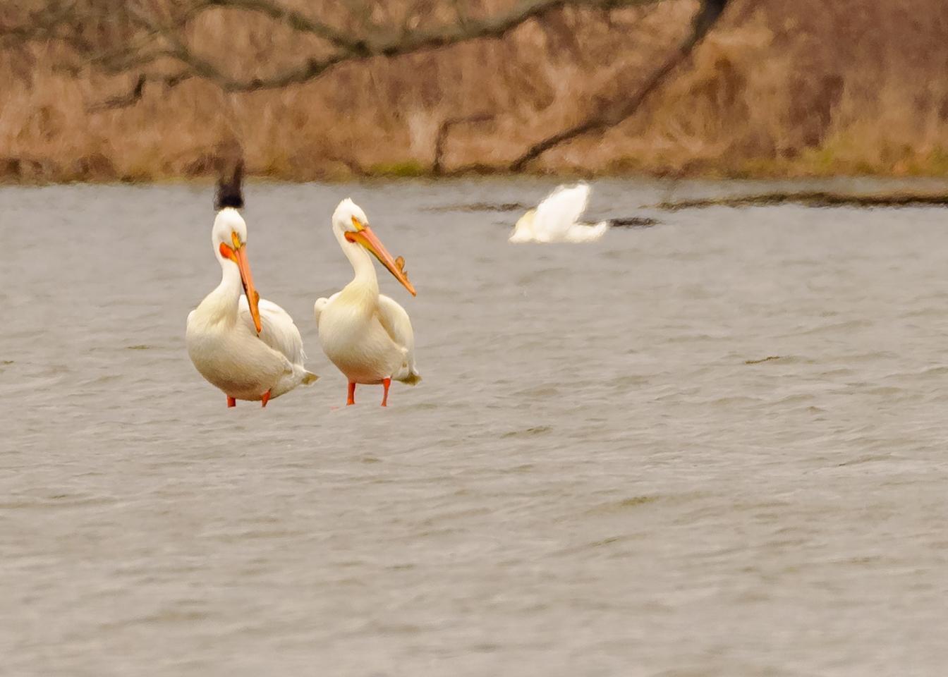 American White Pelican Photo by Keshava Mysore