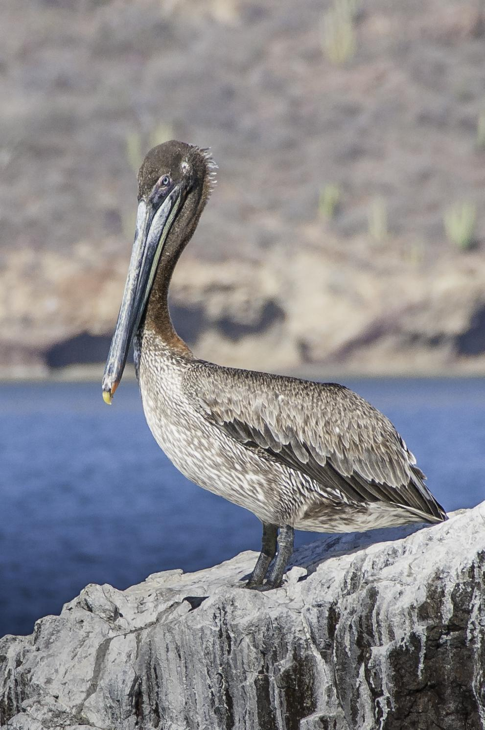Brown Pelican Photo by Mason Rose