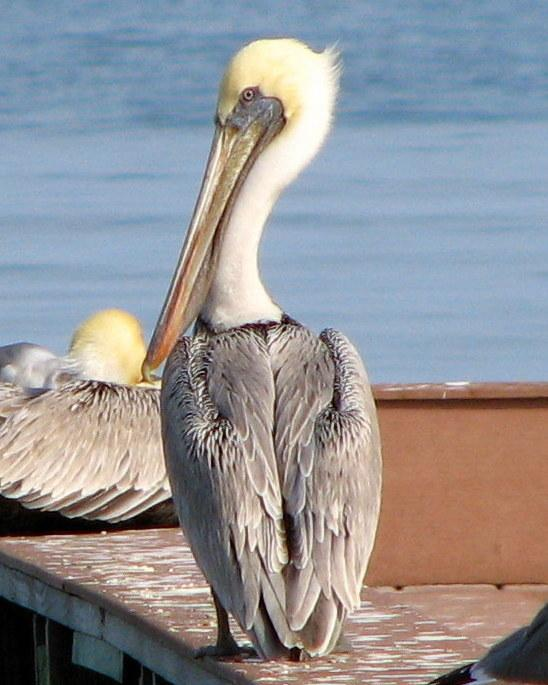 Brown Pelican Photo by Anne Terry