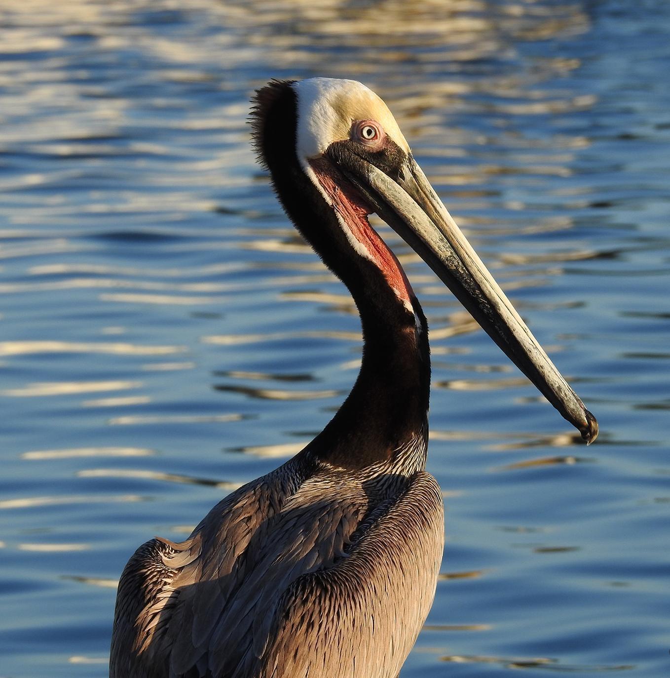 Brown Pelican Photo by Alejandra Perez