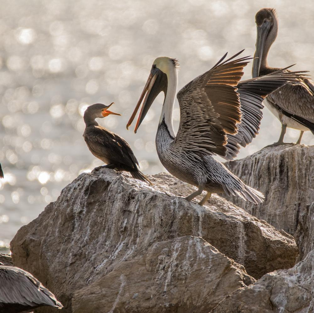 Brown Pelican Photo by Amanda Fulda