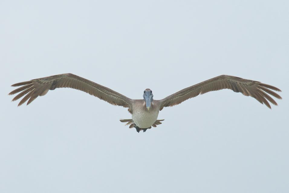 Brown Pelican Photo by David Kilpatrick