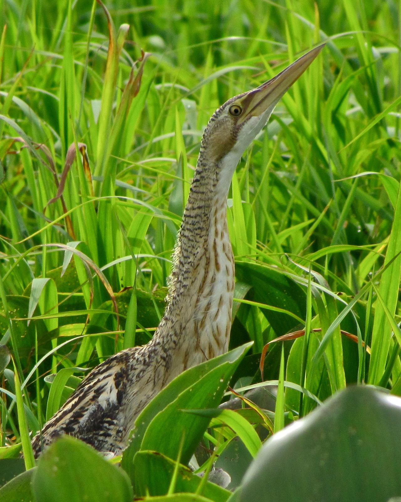 Pinnated Bittern Photo by John van Dort