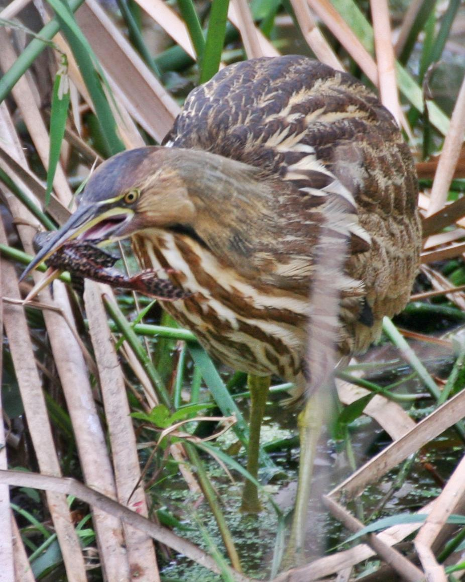 American Bittern Photo by Andrew Theus