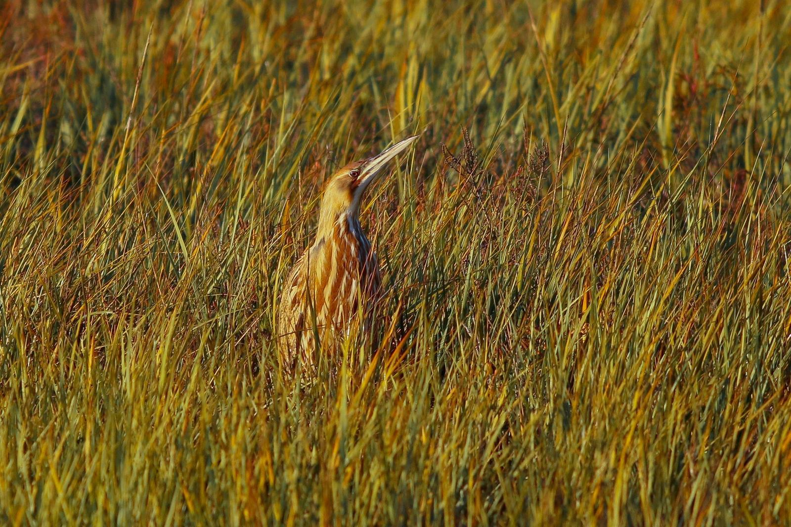 American Bittern Photo by Tom Ford-Hutchinson
