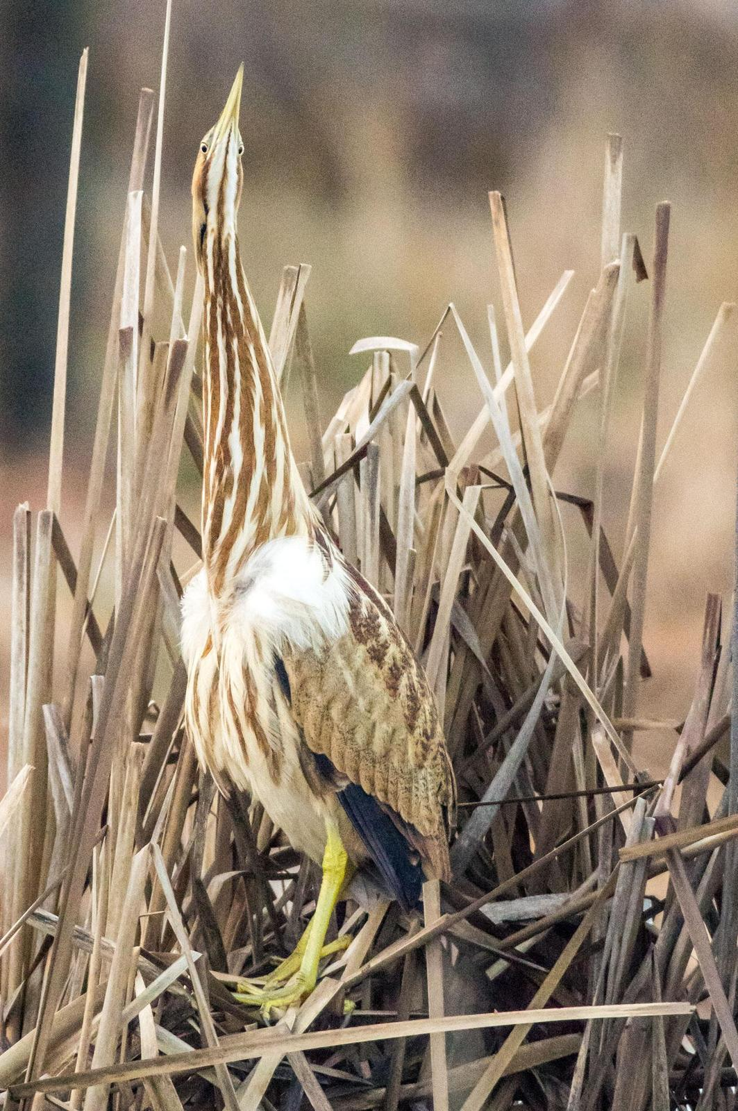 American Bittern Photo by Phil Kahler