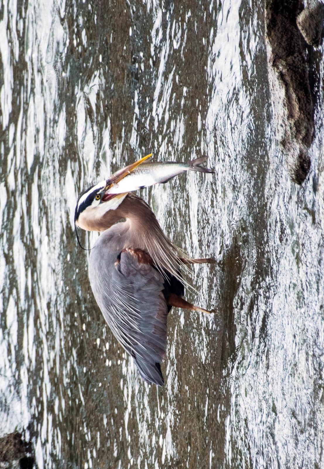 Great Blue Heron Photo by Debbie Robillard
