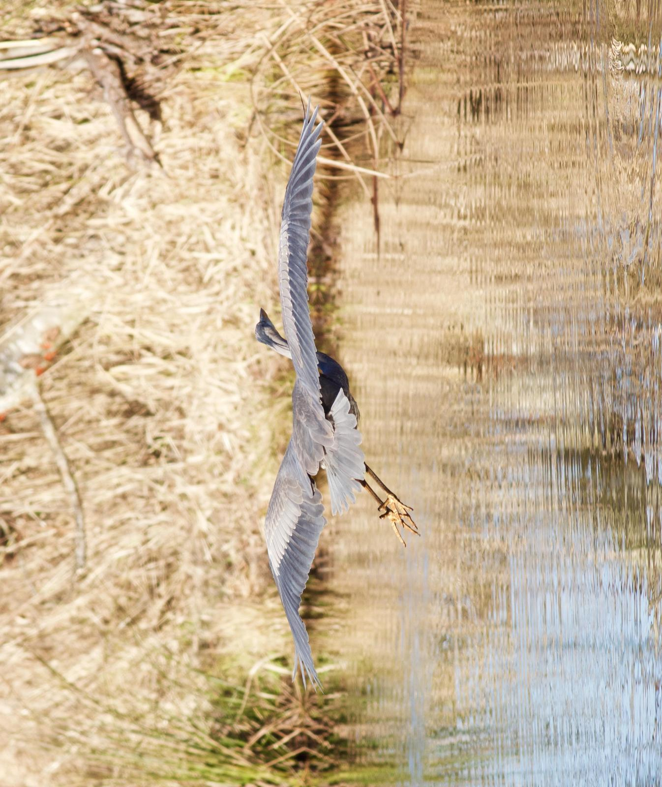 Great Blue Heron Photo by Kathryn Keith