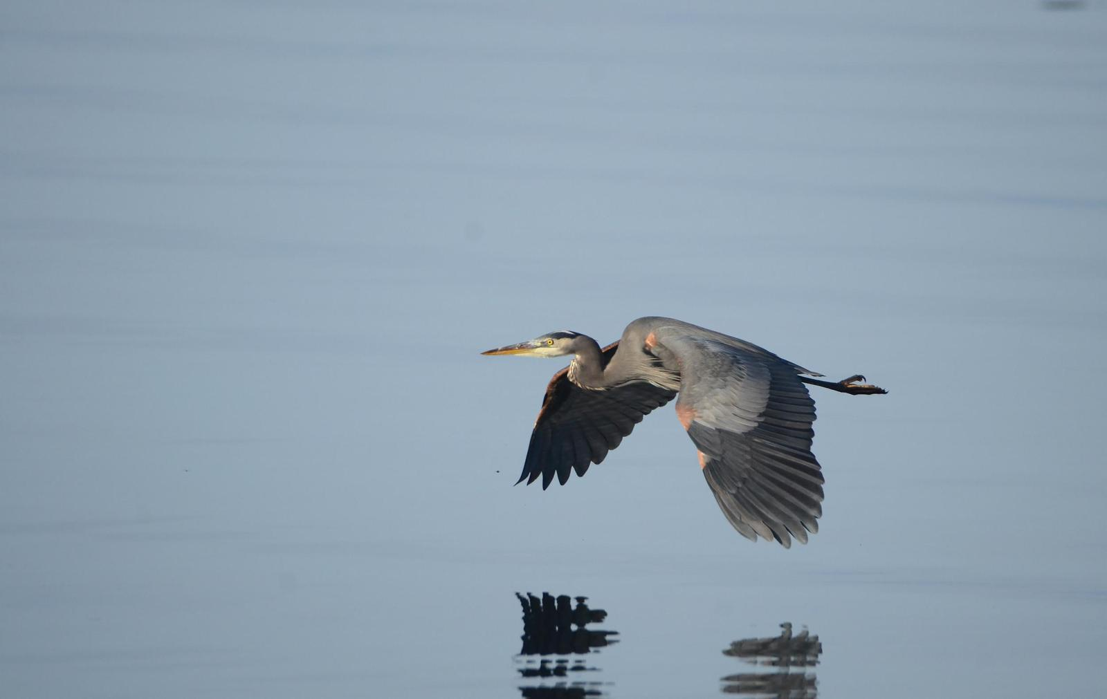 Great Blue Heron (Blue form) Photo by Steven Mlodinow
