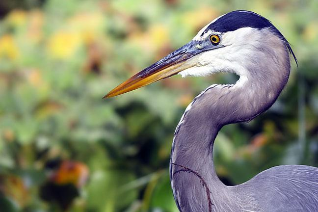 Great Blue Heron (Blue form) Photo by Dan Tallman