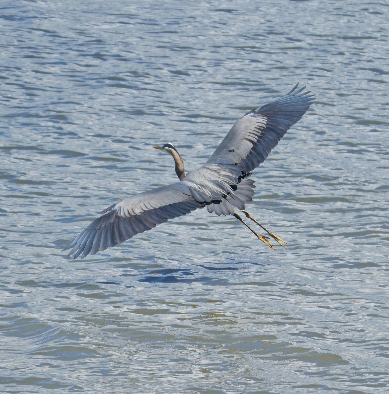 Great Blue Heron (Blue form) Photo by Brian Avent